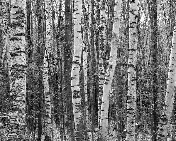 Horizontal Poster featuring the photograph Birch Stand by Ron Kochanowski - www.kochanowski.us