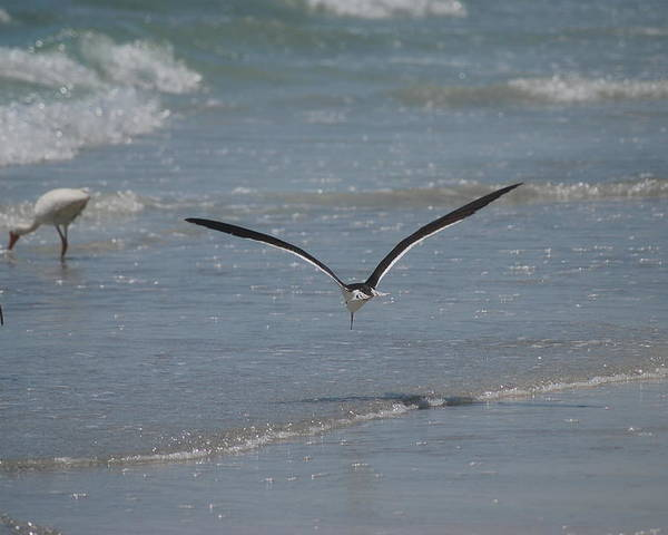 Bird Poster featuring the photograph Bird Flying In The Surf 2 by Lisa Gabrius