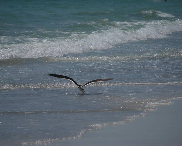 Birds Poster featuring the photograph Bird Flying In The Surf by Lisa Gabrius