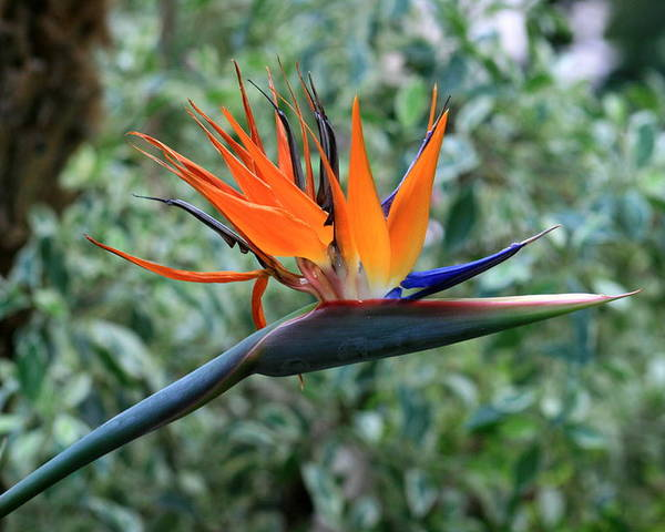 Flower Poster featuring the photograph Bird Of Paradise 2 by David Dunham