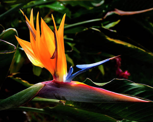 Tropical Bird Of Paradise Flower Kauai Hawaii Poster featuring the photograph Bird Of Paradise Flower by Brian Harig