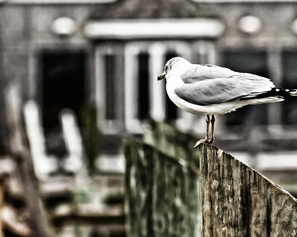 Seagull Poster featuring the photograph Bird On A Pole by Tim Wilson