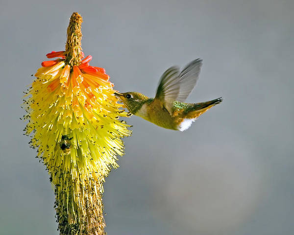 Hummingbird Poster featuring the photograph Birds And Bees by Mike Dawson