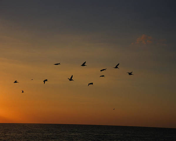 Holmes Beach Poster featuring the photograph Birds Fly Into The Wind Above The Gulf by Stacy Gold