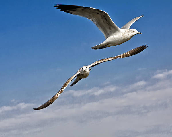Seagull Poster featuring the photograph Birds On The Wing by Tim Wilson