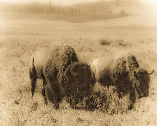 Bison Poster featuring the photograph Bison Pair by Patrick Flynn