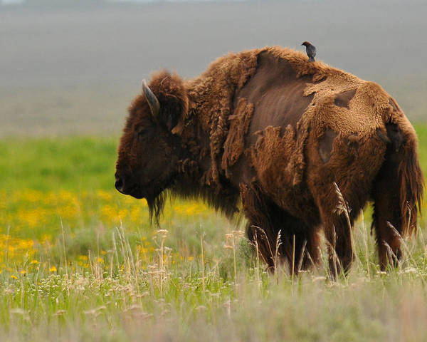 Bison Poster featuring the photograph Bison With Cowbird on Back by Alan Lenk