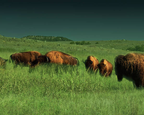 Bisons Poster featuring the photograph Bisons In The Prarie by Iris Greenwell
