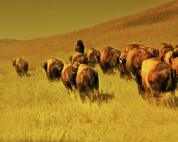 Bisons Poster featuring the photograph Bisons by Iris Greenwell