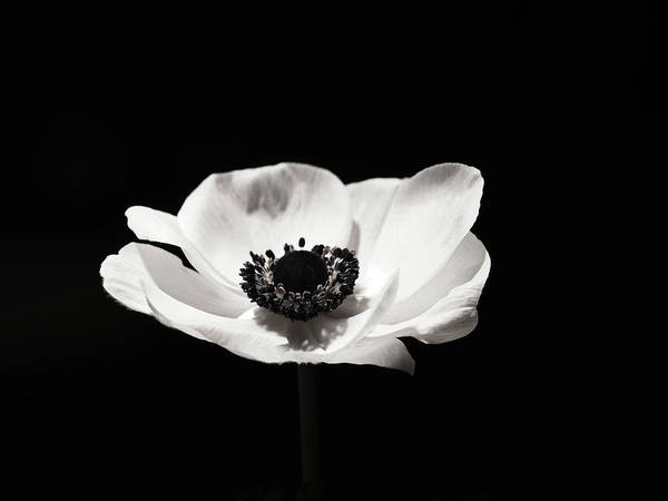 Black and white flower art anemone poster by wall art prints black and white flower poster featuring the photograph black and white flower art anemone by mightylinksfo