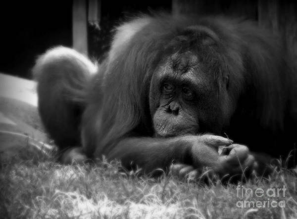 Black And White Poster featuring the photograph Black And White Orangutang by Emily Kelley