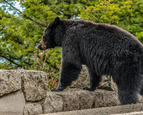 Black Bear Poster featuring the photograph Black Bear Boar Taking In The Sights by Yeates Photography