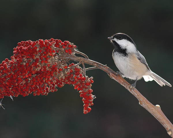 Birds Poster featuring the photograph Black-capped Chickadee by Raju Alagawadi