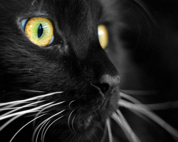 Black Cat Poster featuring the photograph Black Cat 2 by Craig Incardone