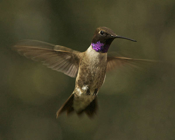 Black-chinned Hummingbird Poster featuring the photograph Black-chinned Hummingbird by Allen Lefever