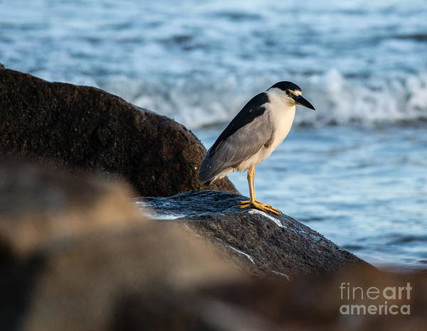 Black Crowned Night Heron Poster featuring the photograph Black Crowned Night Heron B3975 by Stephen Parker