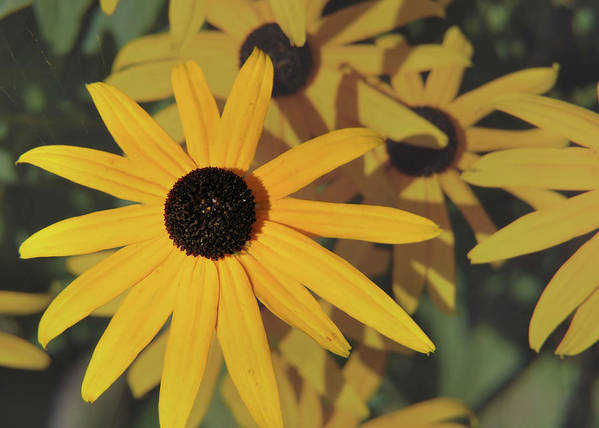 Flower Poster featuring the photograph Black Eyed Susan by JAMART Photography