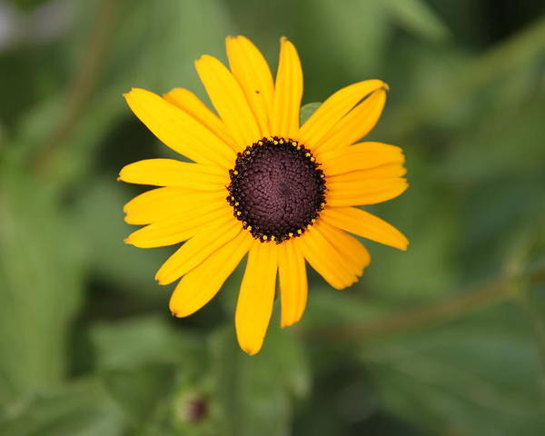 Black Eyed Susan Poster featuring the photograph Black Eyed Susan by Rebecca Pavelka