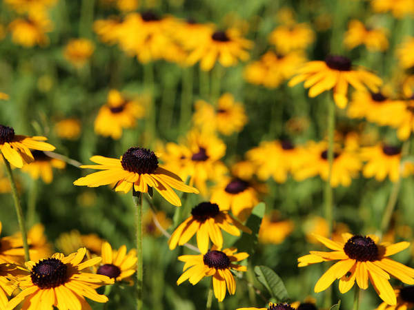 Flower Poster featuring the photograph Black Eyed Susans by Gary Wilson
