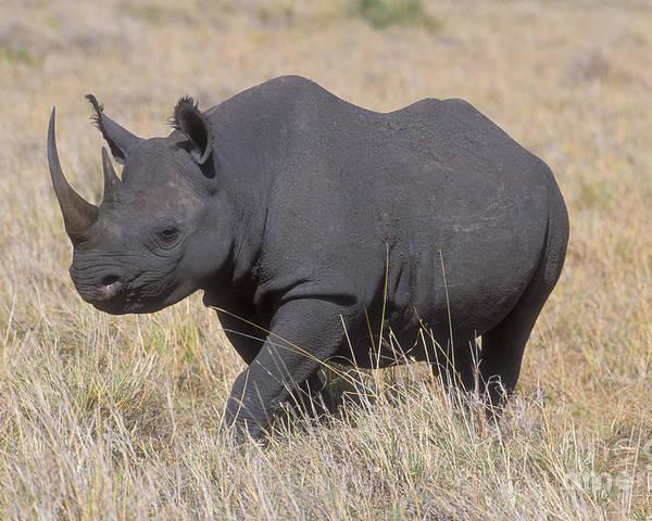 Rhinoceros Poster featuring the photograph Black Rhino On The Masai Mara by Sandra Bronstein