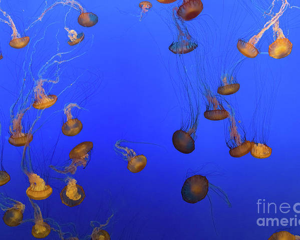 Nature Poster featuring the photograph Black Sea Nettle Jellyfish - Monterey by Henk Meijer Photography
