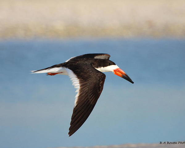 Black Skimmer Poster featuring the photograph Black Skimmer In Flight by Barbara Bowen