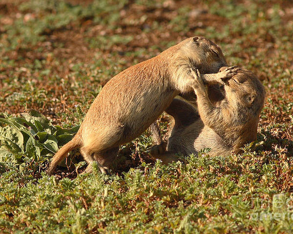 Prairie Dog Poster featuring the photograph Black-tailed Prairie Dogs Wrestling Around by Max Allen