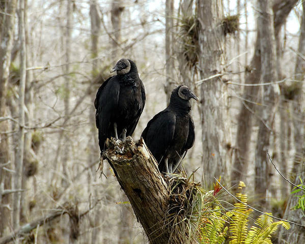 Black Vultures Poster featuring the photograph Black Vultures by David Lee Thompson