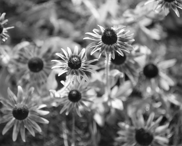 Flowers Poster featuring the photograph Blackeyed Susans In Black And White by Paula Coley