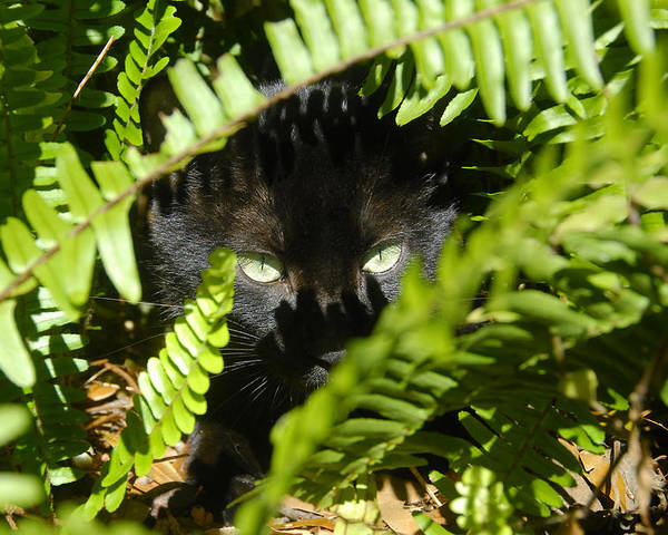 Cat Poster featuring the photograph Blackie In The Ferns by David Lee Thompson