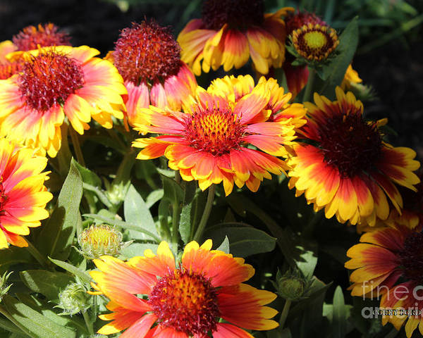 Flower Pictures Poster featuring the painting Blanket Flowers by Corey Ford