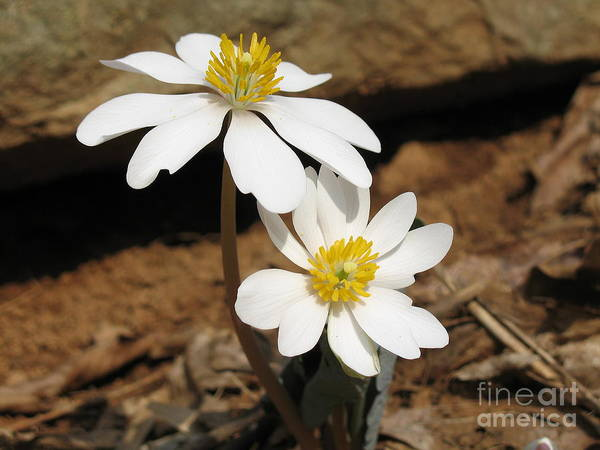 Bloodroot Poster featuring the photograph Bloodroot by Steve Gass
