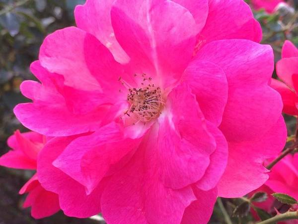 Rose Poster featuring the photograph Blooming by Carolynn Trog