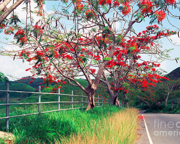 Along The Road Poster featuring the photograph Blooming Flamboyan Trees Along A Country Road by George Oze