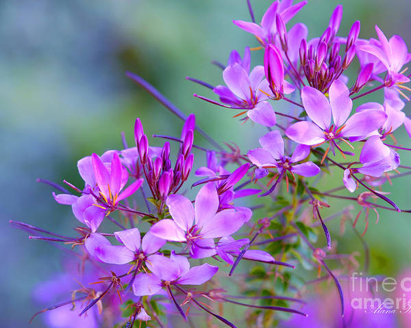 Flower Poster featuring the photograph Blooming Phlox by Alana Ranney