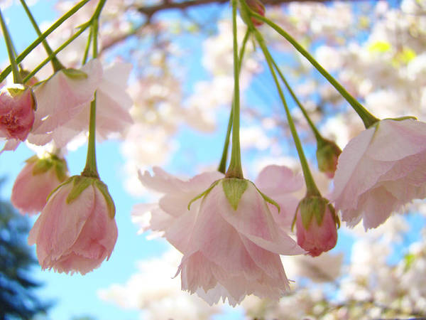 �blossoms Artwork� Poster featuring the photograph Blossoms Art Prints 52 Pink Tree Blossoms Nature Art Blue Sky by Baslee Troutman