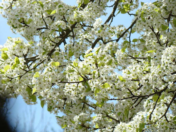 �blossoms Artwork� Poster featuring the photograph Blossoms Whtie Tree Blossoms 29 Nature Art Prints Spring Art by Baslee Troutman