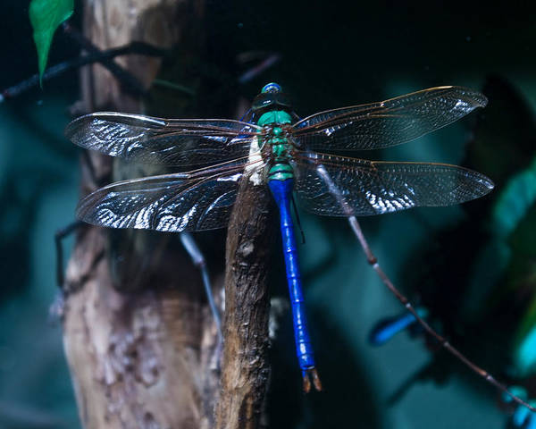 Blue Poster featuring the photograph Blue And Green Dragonfly by Douglas Barnett