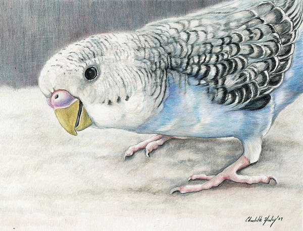 Bird Poster featuring the painting Blue Budgie by Charlotte Yealey