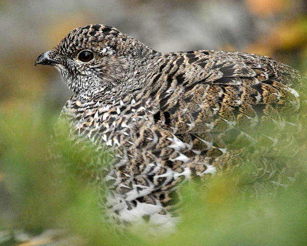 Blue Grouse Poster featuring the photograph Blue Grouse Hen 1 by Larry Ricker