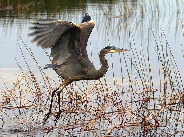 Great Blue Heron Poster featuring the photograph Blue Heron 1 by Peter Gray