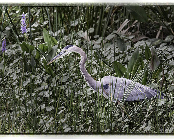Green Cay Poster featuring the photograph Blue Heron In Grass 4566 by Bob Neiman