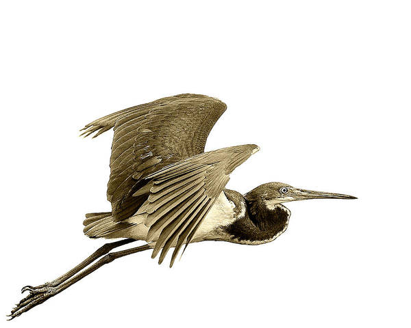 Blue Heron Bird Island Flying Sepia Flight Bill Wings Poster featuring the photograph Blue Heron In Sepia by William Haney