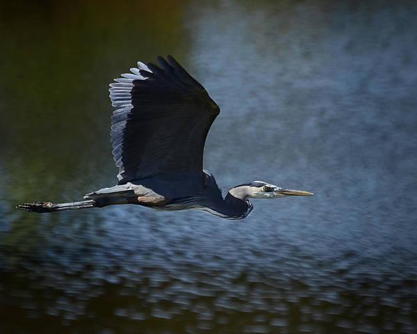 Great Blue Heron Poster featuring the photograph Blue Heron Skies by Saija Lehtonen