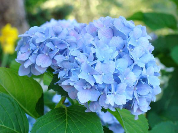 Hydrangea Poster featuring the photograph Blue Hydrangea Flowers Art Botanical Nature Garden Prints by Baslee Troutman