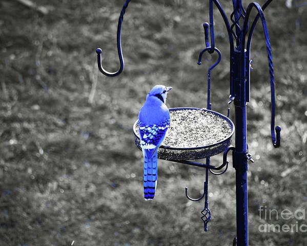 Blue Jay Poster featuring the photograph Blue Jay by Patti Whitten