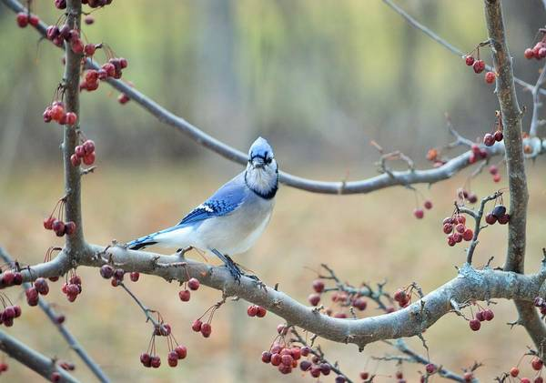 Spring Poster featuring the photograph Blue Jay Poses In Crab Apple Tree by Lena Hatch