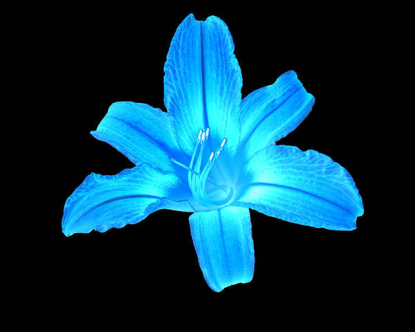 Flowers Poster featuring the digital art Blue Lily by Jasmin Hrnjic