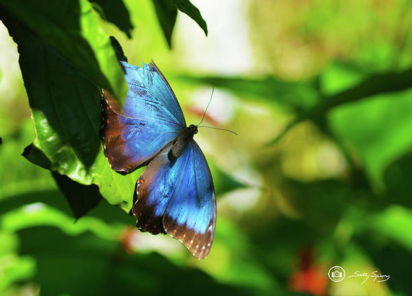 Blue Morpho Poster featuring the photograph Blue Morpho Butterfly by Sally Sperry