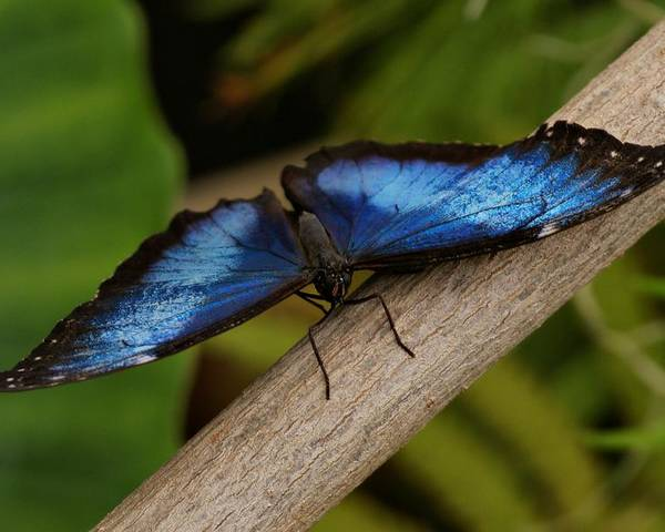 Butterfly Poster featuring the photograph Blue Morpho Butterfly by Sandy Keeton